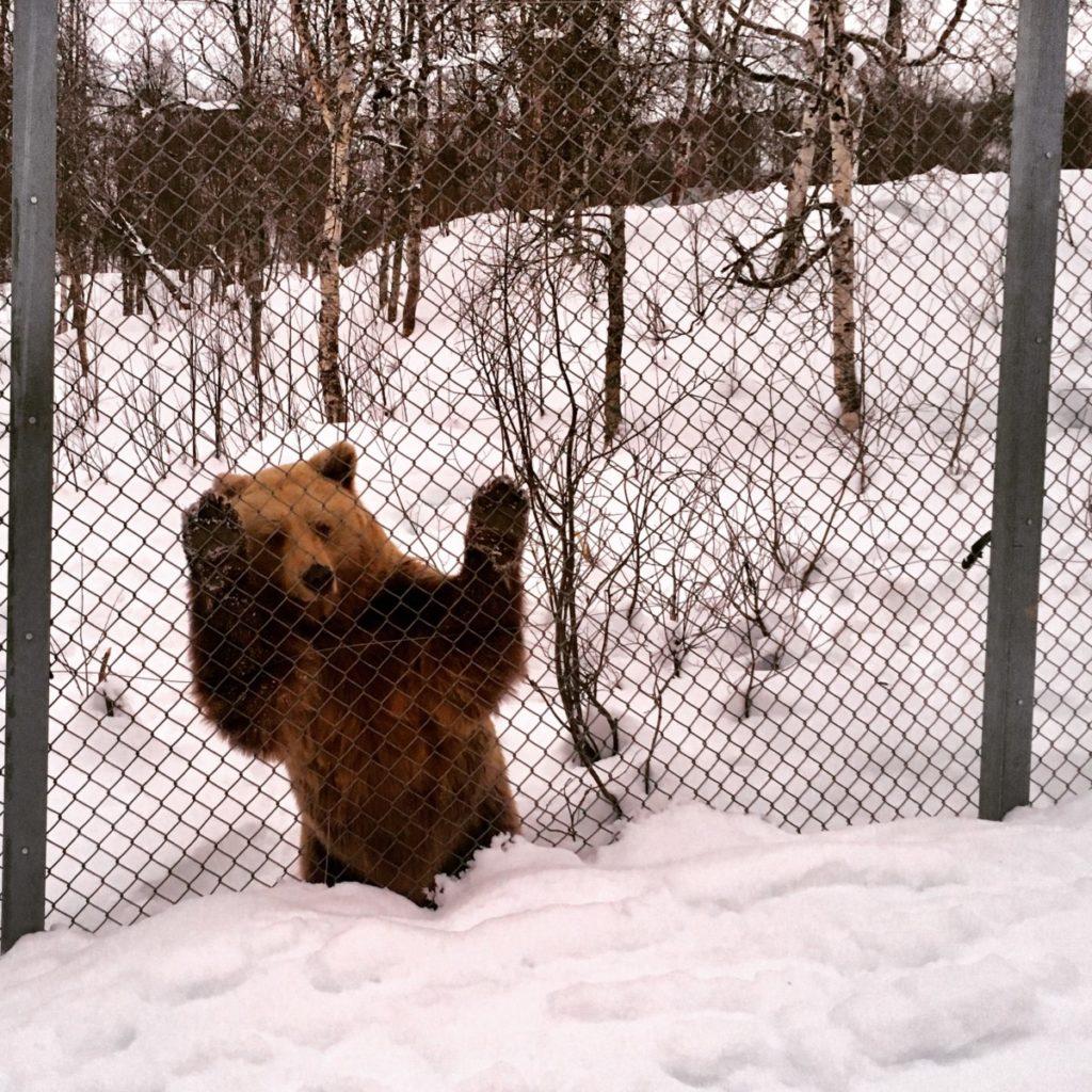 Braunbär Polar Park Bardu